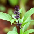 Sweet Basil or Kamkasturi
