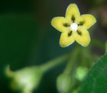 flower of gymnema