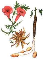 Harpagophytum_procumbens