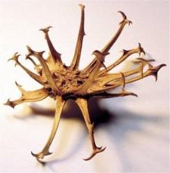 Devil's claw fruit