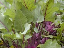 kohlrabi vegetable on ground