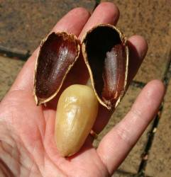 Araucaria bunya nut roasted and shelled