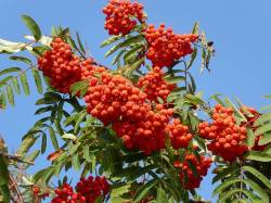 bunch of rowan berries on tree