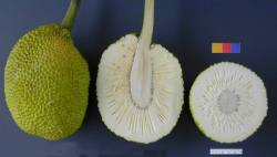 cross section of breadfruit