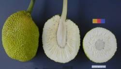cross section of breadfruit