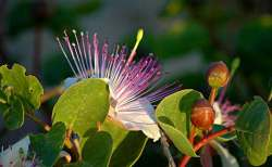 caper flowers and buds