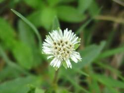 bhringraj flower