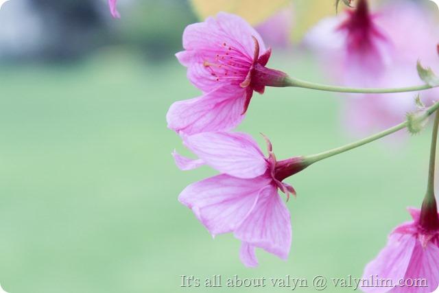 春天赏樱花 (14)