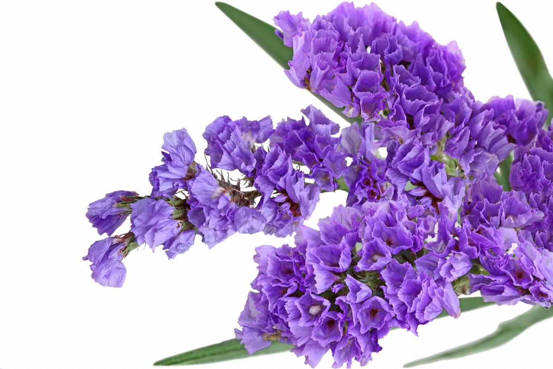 Lilac Flower Meaning Vamos Receber P 225 Gina 18 De 141 Sejam Bem Vindos