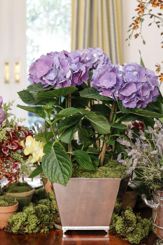 hortensias em vaso de prata