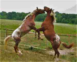 Country Living Liability Issues -Two Appalossa horses fighting in Van Alstyne, TX