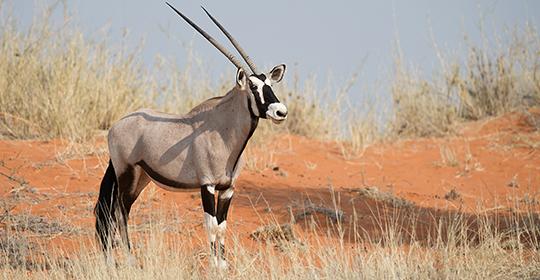 Rondreis Namibie - Gemsbok