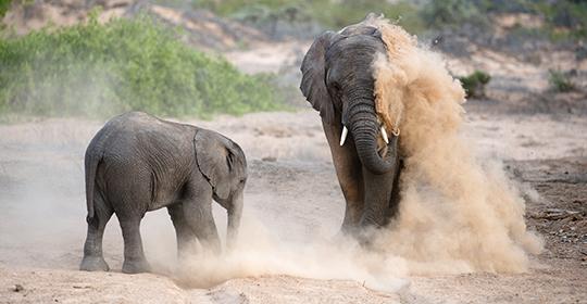Rondreis Namibie - Damaraland, woestijnolifant