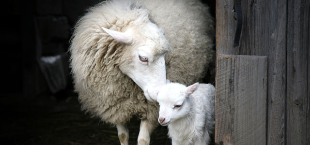 mother sheep and lamb