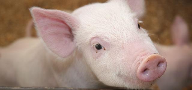 beautiful little pink piglet