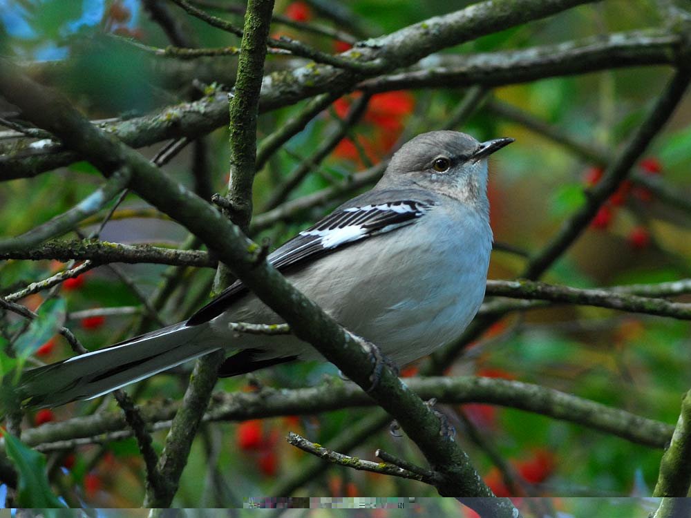 A common state bird, mockingbirds are common around the country.