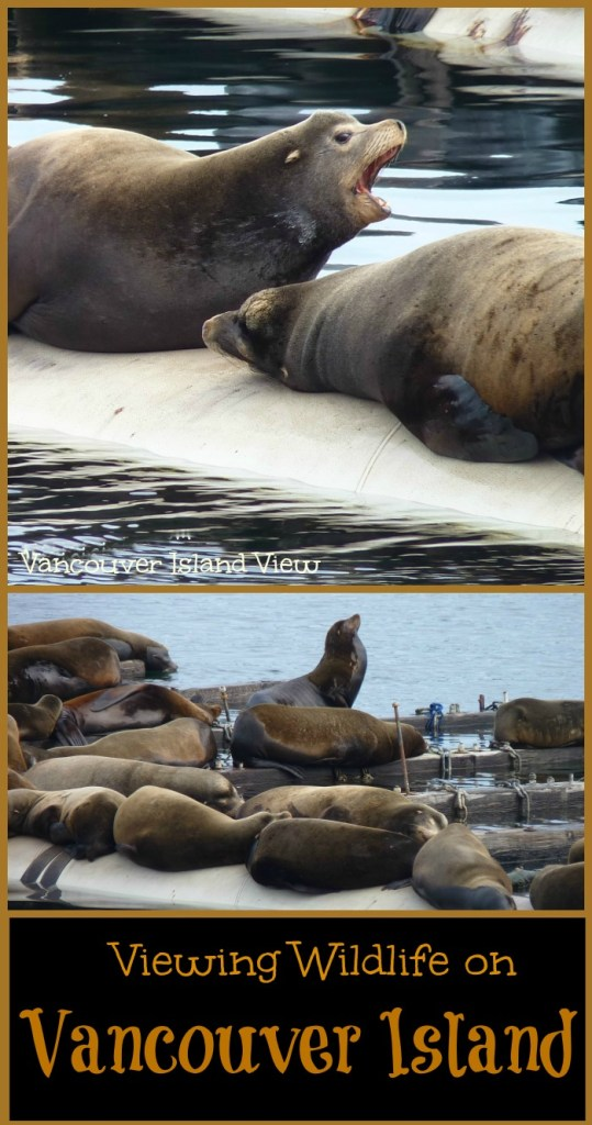 Wishing to spot some sea life while on Vancouver Island? This is the best spot for viewing sea lions on Vancouver Island!