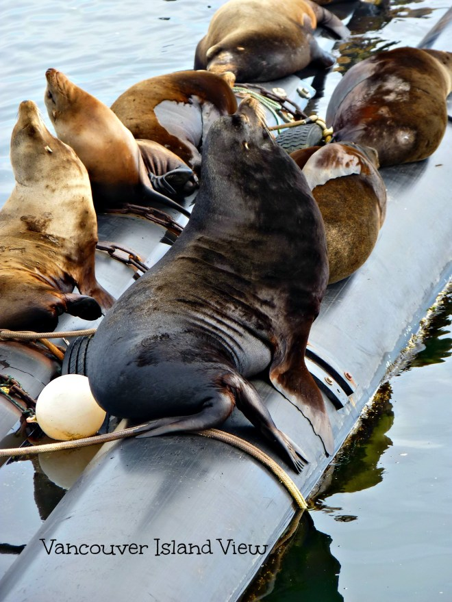 Wishing to spot some sea life while on Vancouver Island? This area is the best spot for viewing sea lions on Vancouver Island!