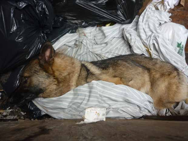 The SPCA is hoping to save the two-year-old German Shepherd found abused, underweight, and near death in a Vancouver dumpster on Wednesday.