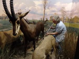 Vanderbilt Museum photo Artist Tom Doncourt working on Stoll Wing wild-animal diorama
