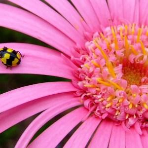 gerbera ladybug