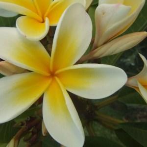 Macro: Frangipani Flower