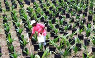 Oil Palm Seedlings