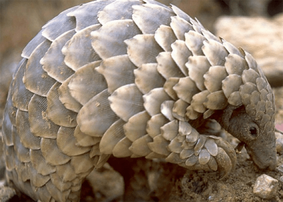 Nearly 900,000 pangolins trafficked in Southeast Asia ?Watchdog
