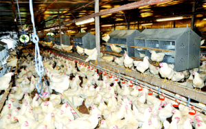 Obaseki's agriprenuer programme: processors purchase 125,000 birds from beneficiaries