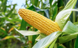 Maize farmers seek support on infrastructure, storage facilities