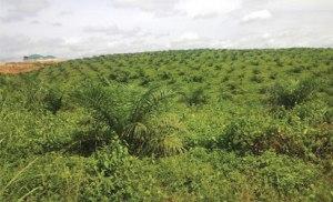 lWilmar's Caloro Oil Palm Estate