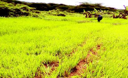 •Ikot Esen Rice nursery in Akwa Ibom State