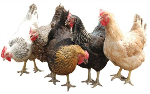 COVID-19: Poultry farmers want exemption from restriction of movement