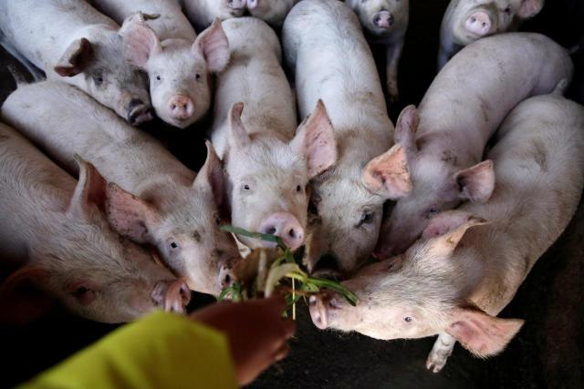 Ogun pig farmers lose millions of Naira, call for government assistance