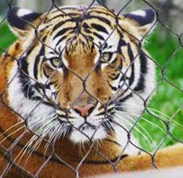 4-year-old female tiger tests positive for coronavirus