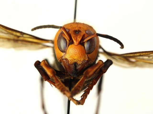 Asian giant hornets spotted for first time in US