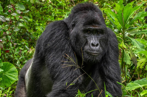 Four men arrested for killing world-famous gorilla in Uganda