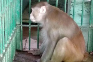 Intoxicated monkey gets life imprisonment for attacking 250 humans