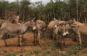 Agric Quarantine expresses concern over rising illicit trade in donkey skin