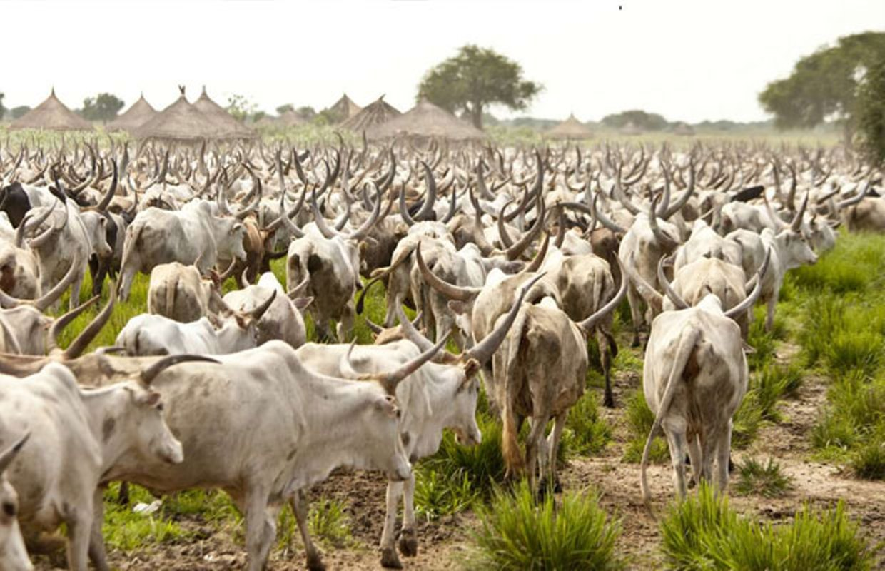 Cows test positive for Bovine Tuberculosis in Abia - Vanguard