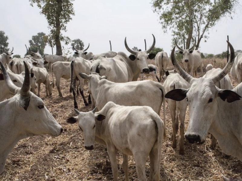 Slain herders' cattle found dead in Zangon Kataf