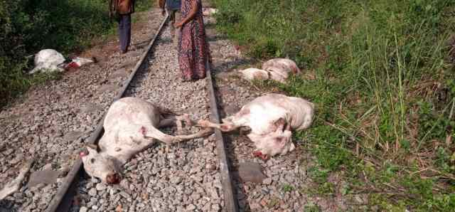Railway Corporation officials forced us to give up 8 cows as evidence of accident - Osun Cattle dealer