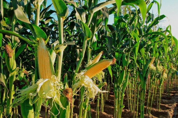 Stakeholders speak on release of 300, 000mt of maize under Anchor Borrowers Programme