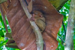 THE PHILIPPINES – A BACKPACKER'S GUIDE - Tarsiers can't roll their eyes