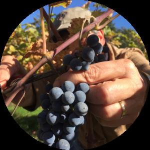 Druiven plukken op landgoed Roozendael in Reuver. Foto Marij Coenen 2018.