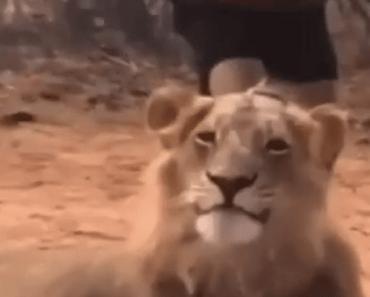 leeuw schrikken cool