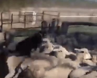 Koopjes hond schapen