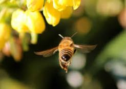bee in a garden