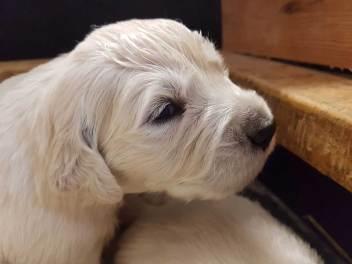 golden pups 19 jan1