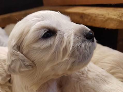 golden pups 19 jan3